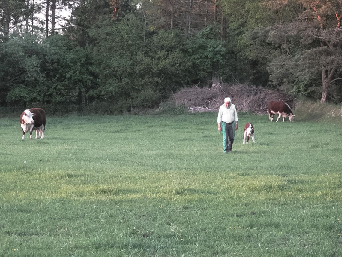 A man with green pants and a white shirt walking on a green field with two cows and a calf.
